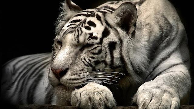Calm-Tiger